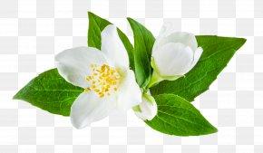 Flower - Jasminum Officinale Flower Stock Photography PNG