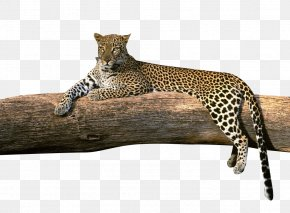 Rest Cheetah - High-definition Television High-definition Video 1080p Amur Leopard Wallpaper PNG