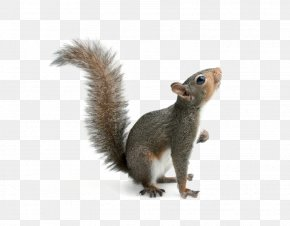 Squirrel - Eastern Gray Squirrel Red Squirrel Rodent Image PNG