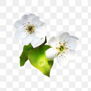 White Pear Flower Petals Picture Material - Petal Designer PNG