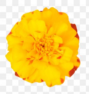 Yellow Marigold - Mexican Marigold Flower Plant PNG