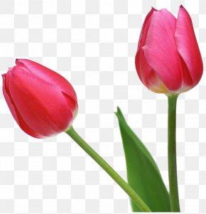 Transparent Tulips Flowers Clipart - Indira Gandhi Memorial Tulip Garden Flower Clip Art PNG