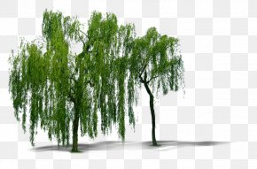Plant Willow Trees - Weeping Willow Tree Computer File PNG
