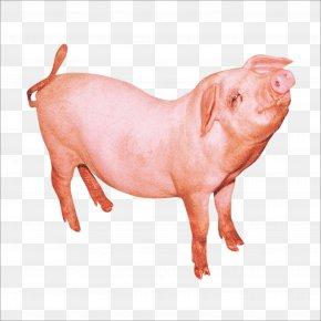Pig - Domestic Pig PNG