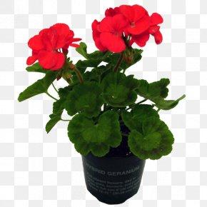 Flower Pot - Geraniums Flowerpot Annual Plant PNG