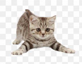 Kitten - Kitten Cat Dog Pet Veterinarian PNG