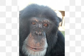 Chimpanzee - Common Chimpanzee Gorilla Primate Monkey Siamang PNG