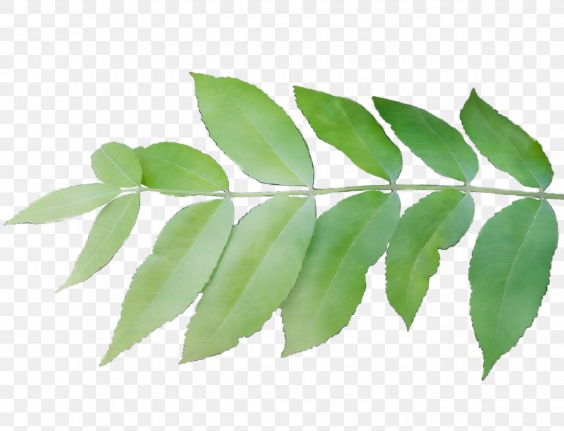 Leaf Plant Flower Tree Woody Plant, PNG, 1960x1499px, Watercolor, Branch, Curry Tree, Flower, Flowering Plant Download Free