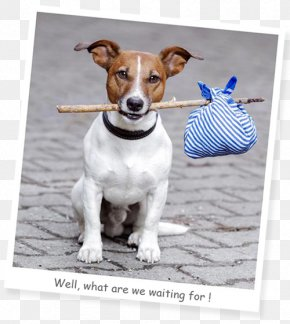 Jack Russel - Dog Puppy Animal Shelter Microchip Implant Pet PNG