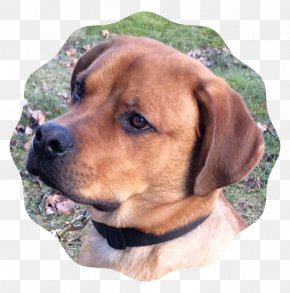 Rambo - Redbone Coonhound English Foxhound Treeing Walker Coonhound Black Mouth Cur Rare Breed (dog) PNG