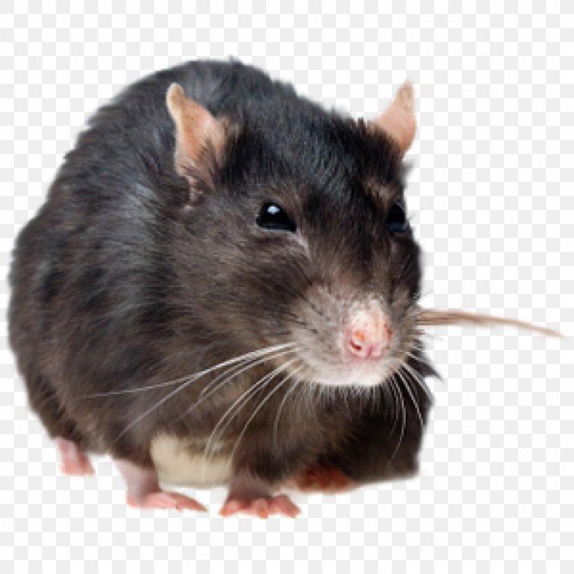 Brown Rat Rodent Mouse Pest Control Black Rat, PNG, 1024x1024px, Brown Rat, Black Rat, Cockroach, Dumboratte, Exterminator Download Free