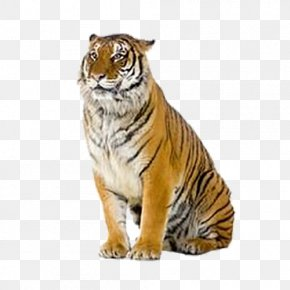 Tiger - Tiger Stock Photography Royalty-free PNG