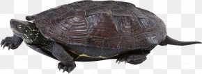 Turtle - Common Snapping Turtle Box Turtle Tortoise Sea Turtle PNG
