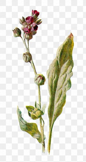Botanical - Cynoglossum Officinale Botany Botanical Illustration Flower Stock Photography PNG