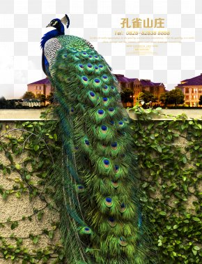 Peacock Hill - Advertising Poster Real Property Real Estate Peafowl PNG