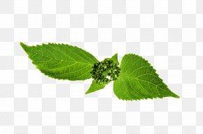 Leaf - Leaf Stipule Plant Stem Plants Herbalism PNG