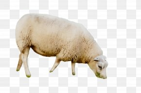 Cowgoat Family Snout - Sheep Sheep Livestock Snout Cow-goat Family PNG