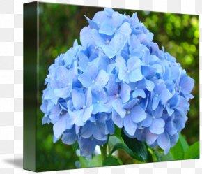 Hydrangea - Flower Garden French Hydrangea Cottage Garden Flowers Blue PNG