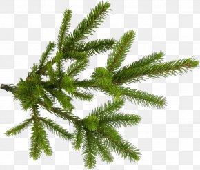 Terrestrial Plant Jack Pine - Shortleaf Black Spruce Yellow Fir Tree Canadian Fir Plant PNG