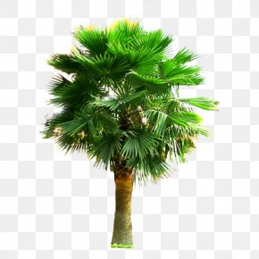 Large Palm Trees - Palm III Arecaceae Tree Plant PNG