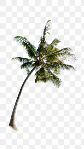 Palm Tree - Arecaceae Tree PNG