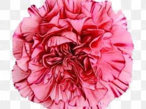 Dianthus Pink Family - Pink Petal Pom-pom Flower Cut Flowers PNG