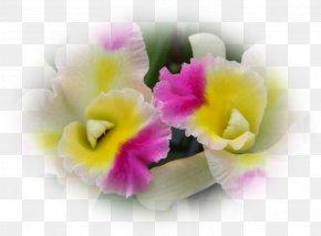 Violet - Moth Orchids Violet Cattleya Orchids Herbaceous Plant PNG