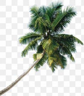 Tree - Asian Palmyra Palm Tree Coconut PNG