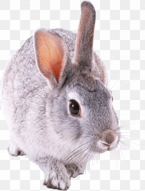 Rabbit Image - Guinea Pig Hamster Ferret Chinchilla Rabbit PNG