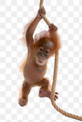Little Monkey Baby Monkey - Sumatran Orangutan Bornean Orangutan Ape Monkey PNG
