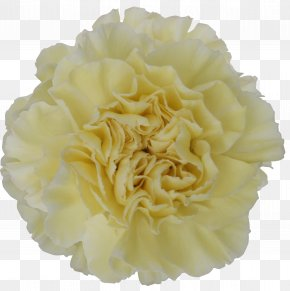 Mother 's Day Carnations - Carnation Cut Flowers Yellow Color PNG