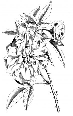 Line Drawing Of A Rose - Black And White Line Art Drawing Sketch PNG