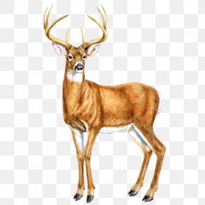 Deer - Reindeer Moose Red Fox Drawing PNG