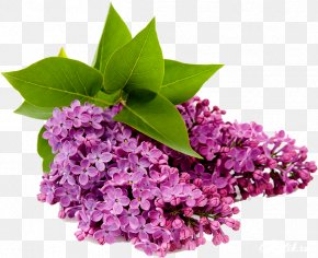 Lilac Flower - Common Lilac Flower Clip Art PNG