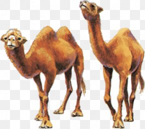 Dromedary Bactrian Camel Camel Milk Even-toed Ungulates PNG
