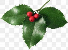 HOLLY - Mistletoe Phoradendron Tomentosum Clip Art PNG