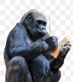 Gorilla - Chimpanzee Gorilla Ape Monkey Primate PNG