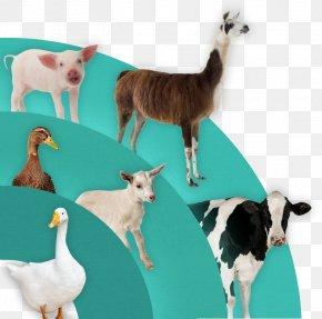Goat - Goat Sheep Llama Question Duck PNG
