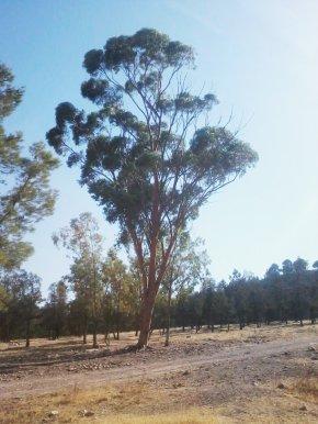Eucalyptus - SIDI MAAFA Forest Gum Trees Plant Meaning PNG
