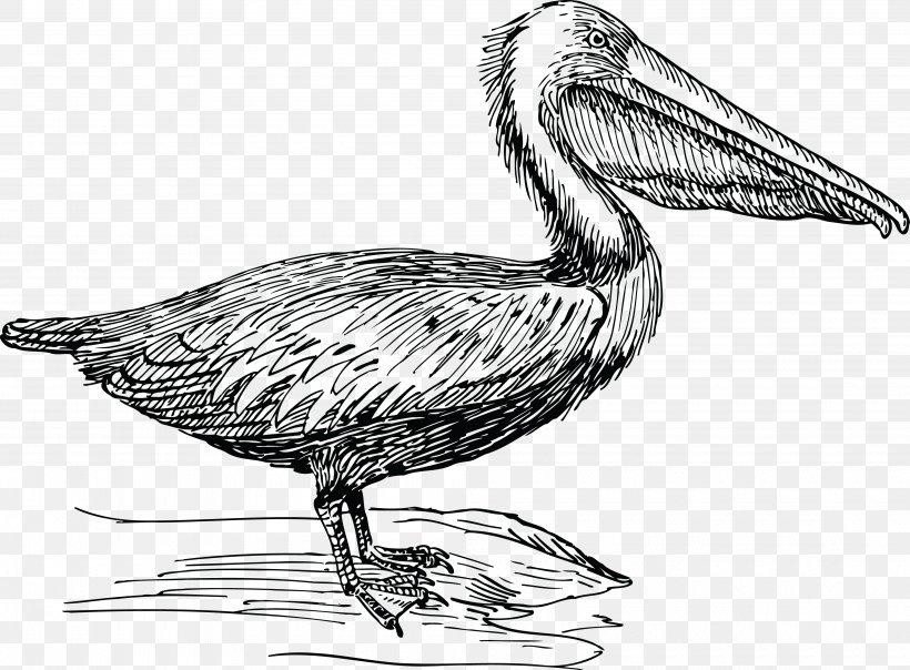 Pelican Drawing Birds Clip Art Png 4000x2948px Pelican Artwork Beak Bird Black And White Download Free