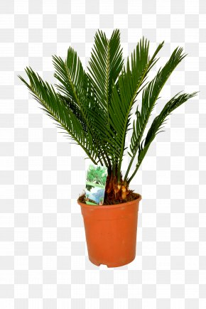 Date Palm - Canary Island Date Palm Houseplant Arecaceae Sago Palm PNG
