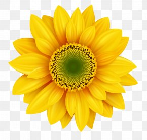 Clear Sunflowers - Royalty-free Photography Icon PNG