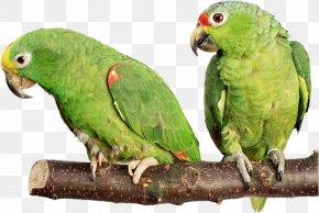 Parrot - Birdcage Cockatiel Budgerigar Cockatoo PNG