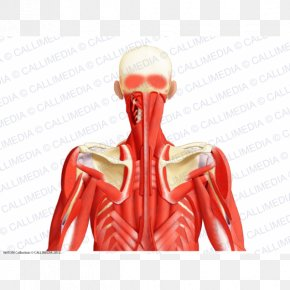 Muscles Of The Larynx - Muscular System Muscle Posterior Triangle Of The Neck Head And Neck Anatomy Human Body PNG