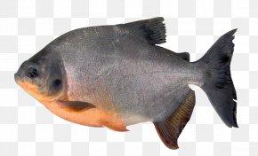 Fish - Tambaqui Fish Pacu Orinoco Piaractus Brachypomus PNG