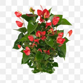 Plants Clipart - Anthurium Andraeanum Flamingo Flower Houseplant PNG