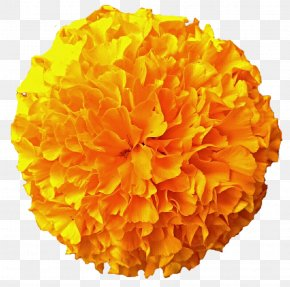 Marigold - Mexican Marigold Flower Download Clip Art PNG