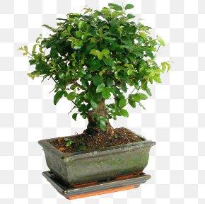 Bonsai - Sageretia Theezans Bonsai Weeping Fig Houseplant Tree PNG