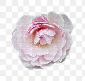 Centifolia Roses Garden Roses Valentine's Day Dia Dos Namorados PNG