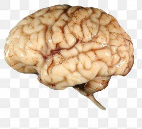 Brain - Brain Clip Art PNG